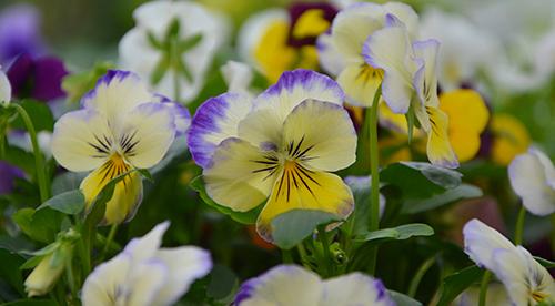 Végétaux, fleurs, plantes laurentides